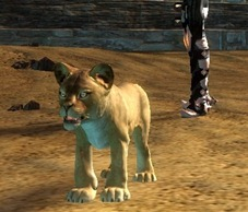 gw2-mini-lion-cub-pet1